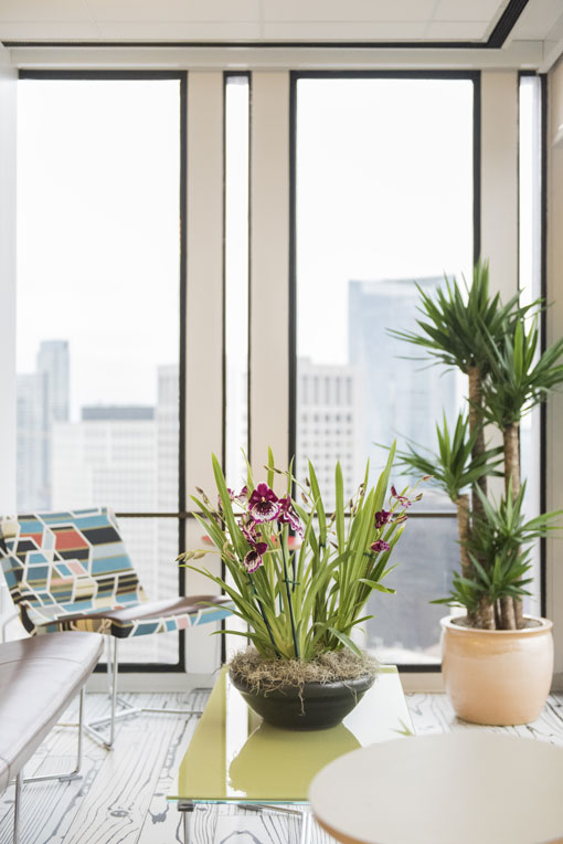 A beautiful purple Miltonia orchid arrangement on a table in front of a Yucca tree, in a bright office with big windows.