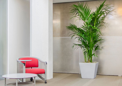 A large Kentia Palm staged in an office seating area, contrasting against a metal diamond plated wall.