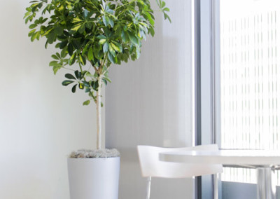 A gorgeous variegated Schefflera Arboricola tree, in a tall silver cylinder container, in a sunny office kitchen.