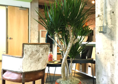 An image of a Dracaena Marginata tree with a curvy trunk, in a red clay colored container, in an office reception area.