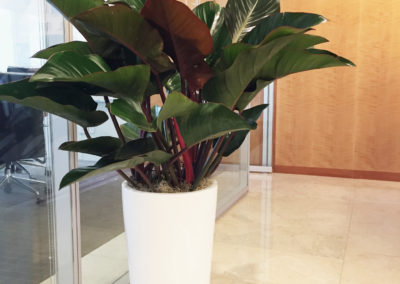 A large Philodendron Congo Rojo plant inside a tall, round, cylinder pot inside an office space.