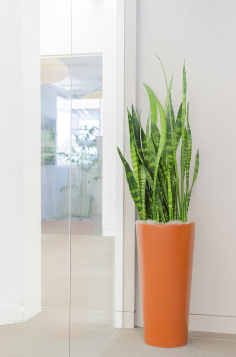 A stunning Sansevieria snake plant in a tall orange cylinder pot, staged in a modern office.