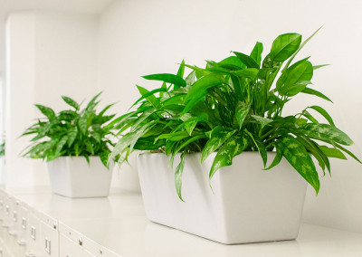 Two long rectangular planter boxes staged with vibrant green Aglaonema plants, on top of silver filing cabinets in an office.