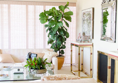 A very healthy Ficus Lyrata, Fiddle Leaf Fig tree staged in an elegant home residence.
