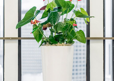 A vibrant red Anthurium plant in a tall white cylinder pot, in front of a window, in a sunny office.