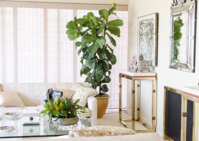 A very healthy Ficus Lyrata Fiddle Leaf Fig tree staged in an elegant home residence.