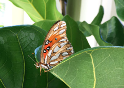 An close up image of a tan and orange butterfly on top of a large Ficus Lyrata leaf in a well lit area.