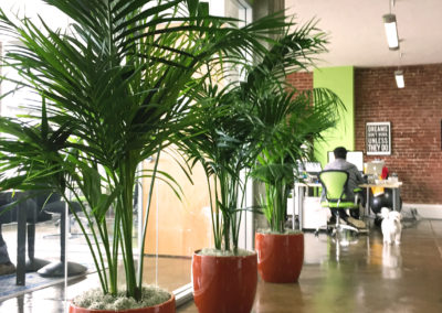 Three large Palm Kentia plants inside red clay containers, along conference room windows, in a loft office area with exposed brick and lime green walls.